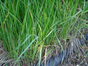 священная трава
