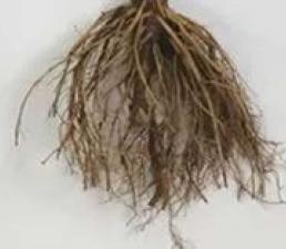 корень подсолночника